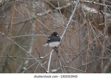 Black-eyed Junco in tree winter season