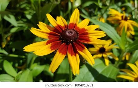 Black-eyed susan. Bicolor coneflowers. Bicolor Rudbeckia hirta. Yellow and red black-eyed susan. Red and yellow black-eyed susan. Bicolor black eyed susans. Cappuccino Rudbeckia.