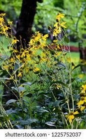 Black-Eyed Susan Flowers Field,  Coneflowers, Rudbeckia