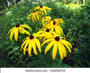 Yellow flower with brown center images stock photos vectors black eyed susan flowers on the green background in natural setting taken near restored mightylinksfo
