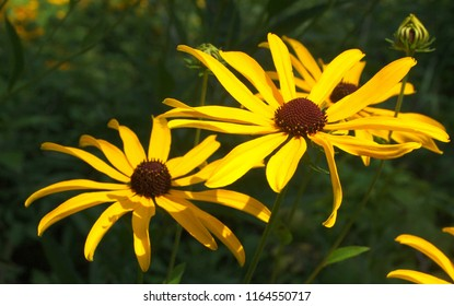 Yellow flower with brown center images stock photos vectors black eyed susan flowers rudbeckia hirta two large yellow flowers with dark mightylinksfo