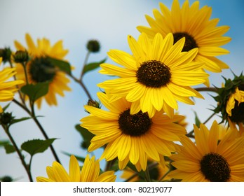 """""""Black-Eyed Susan"""" """" Rudbeckia hirta""""  lit by the sun with a beautiful blue sky backgroud outside one spring afternoon"""