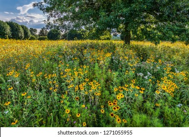 Black-eyed Susans and other native wildflowers in a meadow in central Virginia. Meadow was planted as a way to transform an ordinary hayfield into a wildlife habitat.