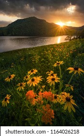 Blackeyed Susans at sunset, Appalachian Mountains