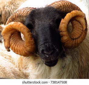 Blackface sheep ram with curled horns like Princess Leia buns