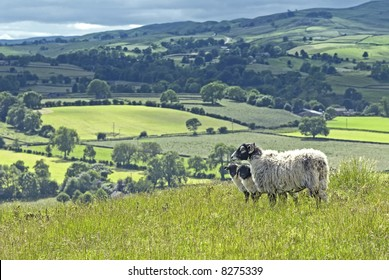 blackface sheep with two lambs