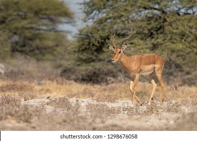 Black-faced Impala (Aepyceros melampus petersi) - Heading for Water