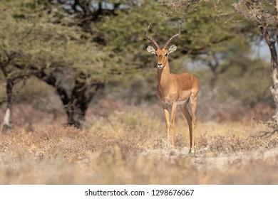 Black-faced Impala (Aepyceros melampus petersi) - Stand Firm