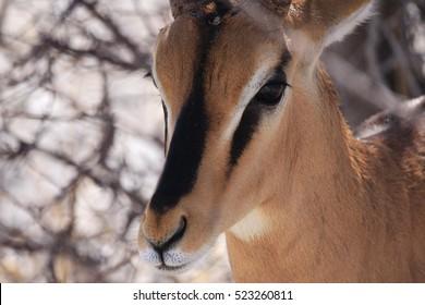 Black-faced impala up close