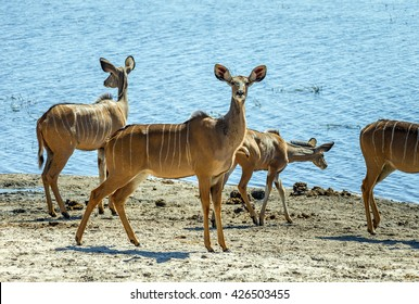Blackfaced impala in yhe Chobe National Park - Botswana, South-West Africa