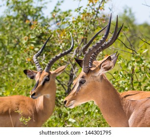 Black-faced Impala's Three male impalas standing together in the wild