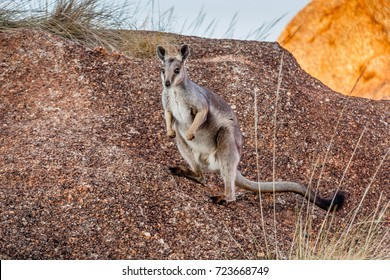 The black-flanked rock-wallaby (Petrogale lateralis) in the Devils Marbles Conservation Reserve, Northern Territory, Australia