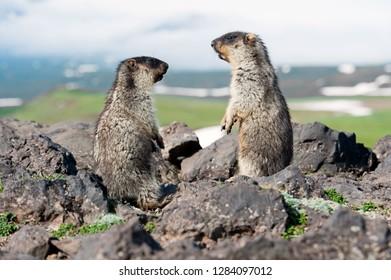 Blackfoot Groundhog - rodent and symbol of Kamchatka