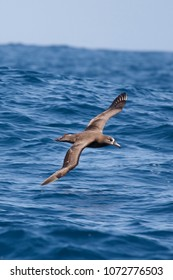 Black-footed Albatross - Phoebastria nigripes