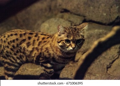 Black-footed cat Felis nigripes is the smallest cat found in Africa