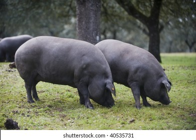 Black-footed Iberian pigs
