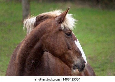 black-forest coldblood Draft Horse portrait