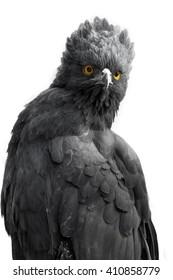 Black-Hawk Eagle isolated