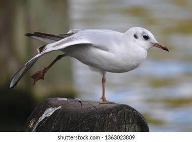 Black-headed Gull (Chroicocephalus ridibundus) adult in winter (non-breeding) plumage, stretching wing