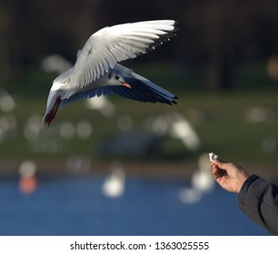 Black-headed Gull (Chroicocephalus ridibundus) adult in winter (non-breeding) plumage, taking food from a person's hand