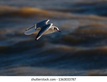 Black-headed Gull (Chroicocephalus ridibundus) adult in winter (non-breeding) plumage flying over the sea