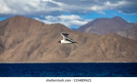 Black-headed gull (Chroicocephalus ridibundus), Flying Gull, Black headed Gull - Chroicocephalus ridibundus / Black headed Gull flying under a blue sky