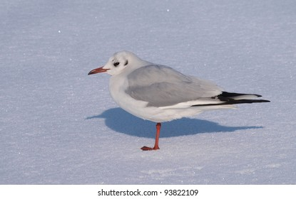 Black-headed Gull (Chroicocephalus ridibundus) on snow.