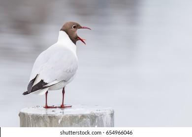 Black-headed gull (Chroicocephalus ridibundus) shrill