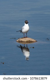 Black-headed Gull, Chroicocephalus Ridibundus, standing alone on a stone with reflections in the water