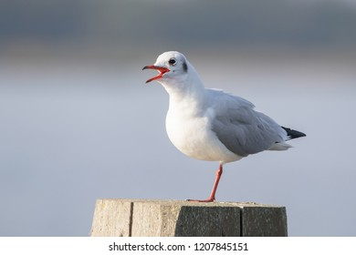 The black-headed gull (Chroicocephalus ridibundus) standing on one leg October 2018 - Lauwersoog