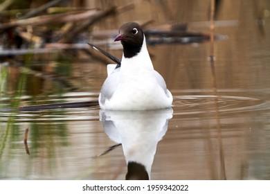 The Black-headed gull (Chroicocephalus ridibundus) swimming in the lake. The Black-headed gull in nesting at a breeding colony in the pond. Selective focus. Spring 2021. Vilnius region, Lithuania.