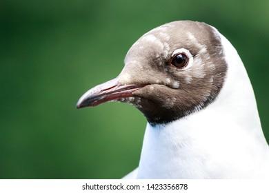 Black-headed gull close up portrait