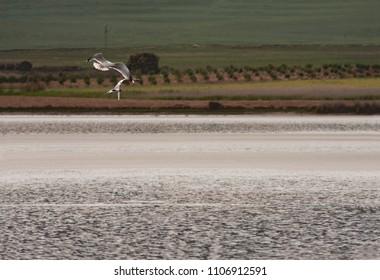 black-headed gull fishing in petrola lagoon, in spain