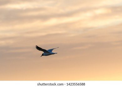 Black-headed Gull in gracil flight by a colored sky by twilight time