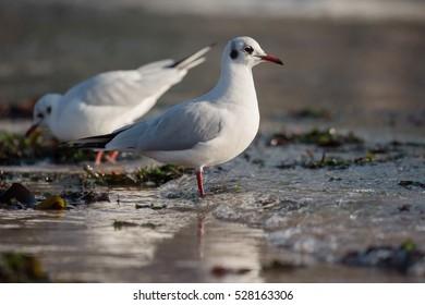 Black-headed Gull, Gulls, Birds
