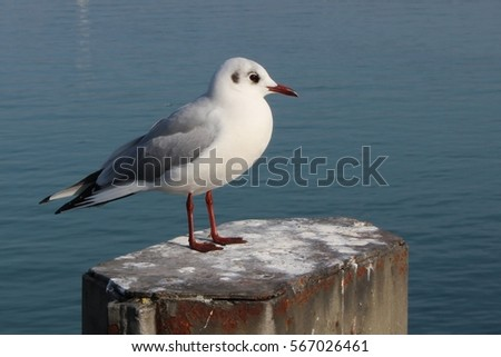 A Black-headed gull in January at the Lake Constance in Germany
