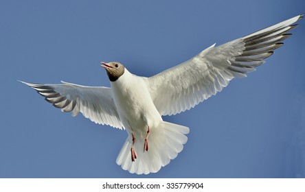 Black-headed Gull (Larus ridibundus) in flight on the natural blue sky  background. Front