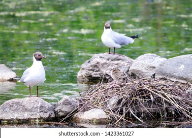 Black-headed gull with nest and nestling