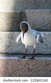 Black-headed gull poses solemnly in summer in Turku, Finland.