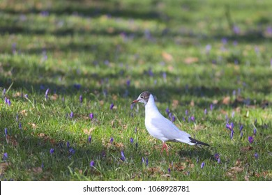 A black-headed gull is standing on grass in a park