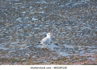 Black-headed gull with winter plumage standing in muddy lake