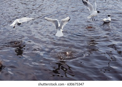 Black-headed gulls flying over the lake