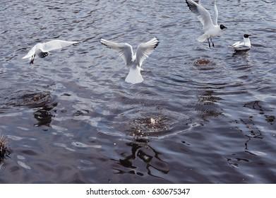 Black-headed gulls flying over the lake