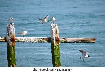 Black-headed gulls with juveniles on groins and in flight with out of focus sea background
