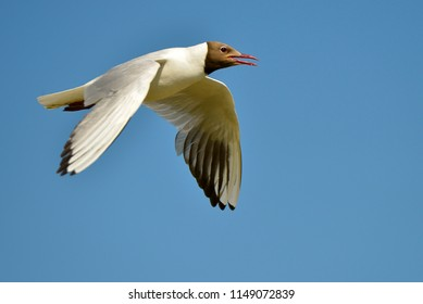Black-headed Gulls (Larus ridibundus) in flight seen from profile, in the Camargue, a natural region located south of Arles, France, between the Mediterranean Sea and the two arms of the Rhône delta.