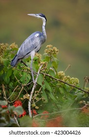 Black-headed Heron, Ardea melanocephala on nest in treetop against blurred steep tea field in background. Uganda.