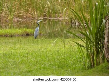 Black-headed Heron, Ardea melanocephala standing on the edge of the swamp against reeds in background. Uganda.