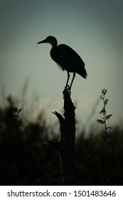 Black-headed heron crouches on stump in silhouette