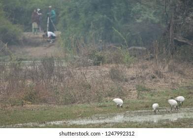 Black-headed ibis (Threskiornis melanocephalus) searching for food and bird-watchers in the background. Keoladeo Ghana. Bharatpur. Rajasthan. India.