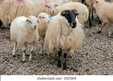 Black-headed Irish mountain sheep ewe with lambs